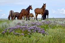 Paarden op de Grie